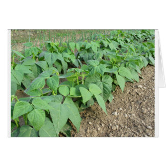 Young green beans plants in rows card