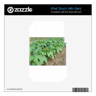 Young green beans plants in rows decals for iPod touch 4G