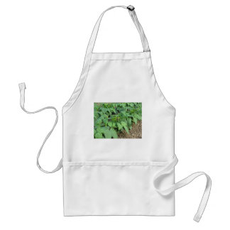 Young green beans plants in rows in the garden adult apron