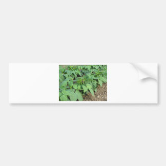 Young green beans plants in rows in the garden bumper sticker