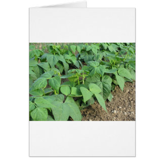 Young green beans plants in rows in the garden card