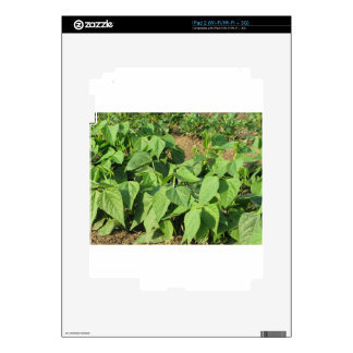 Young green beans plants in rows in the garden iPad 2 skins