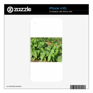 Young green beans plants in rows in the garden iPhone 4S decal