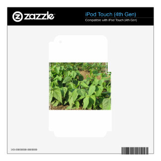 Young green beans plants in rows in the garden iPod touch 4G skin