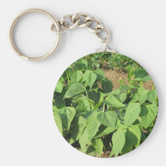 Young green beans plants in rows in the garden keychain