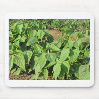 Young green beans plants in rows in the garden mouse pad