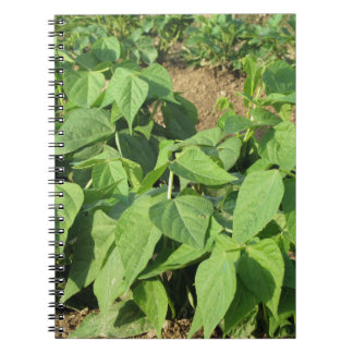 Young green beans plants in rows in the garden spiral notebook