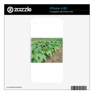 Young green beans plants in rows skins for iPhone 4S