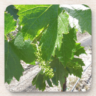 Young Green Grapes on the Vine in Spring Coaster