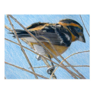 Young Grosbeck Colored Pencil Drawing Postcard