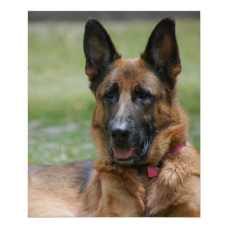 Young GSD Poster