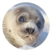 Young Harp Seal
