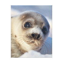 Young Harp Seal Canvas Print