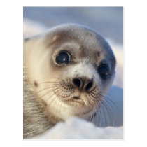 Young Harp Seal Postcard
