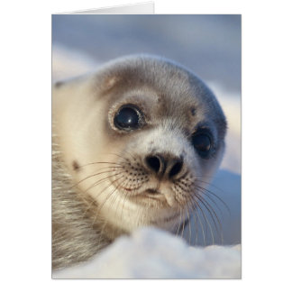 Young harp seal starting to shed its coat greeting card