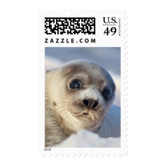 Young harp seal starting to shed its coat stamp
