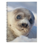 Young harp seal starting to shed its coat spiral notebook