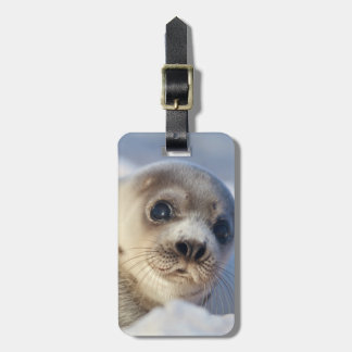 Young harp seal starting to shed its coat tag for luggage