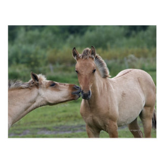 Young Henson horses encountering each other Postcard