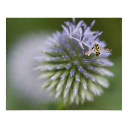 Young honeybee collecting pollen on a flower. poster