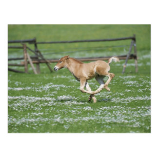 Young Horse Running Postcard