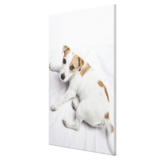 Young Jack Russell Terrier Canvas Print