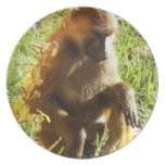 Young Juvenile Baboon Sitting and Looking Down Dinner Plate