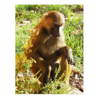 Young Juvenile Baboon Sitting and Looking Down Postcard