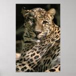 Young Leopard Cub Art Gifts Print