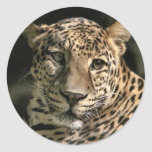 Young Leopard Cub Art Gifts Sticker