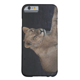 Young Lion at Sunrise Barely There iPhone 6 Case