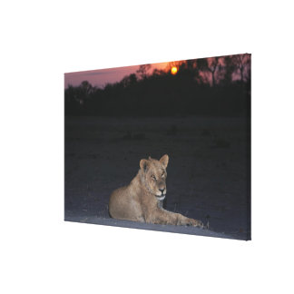 Young Lion at Sunrise Canvas Print