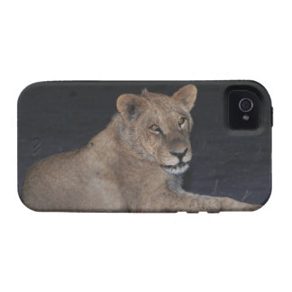 Young Lion at Sunrise iPhone 4/4S Cases
