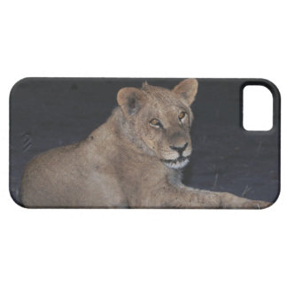 Young Lion at Sunrise iPhone SE/5/5s Case