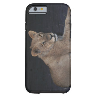 Young Lion at Sunrise Tough iPhone 6 Case