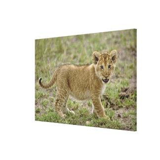 Young lion cub, Masai Mara Game Reserve, Kenya Canvas Print