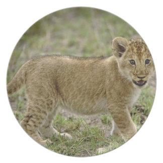 Young lion cub, Masai Mara Game Reserve, Kenya Plate
