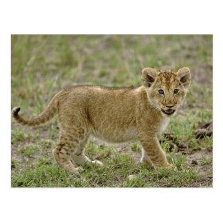 Young lion cub, Masai Mara Game Reserve, Kenya Postcard