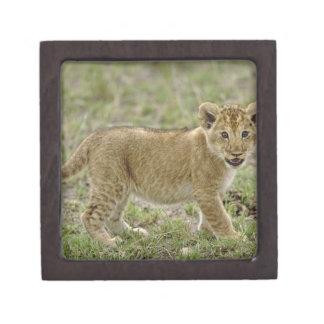 Young lion cub, Masai Mara Game Reserve, Kenya Premium Jewelry Boxes
