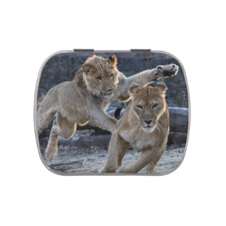 Young Lion Plays With Mom Jelly Belly Candy Tins