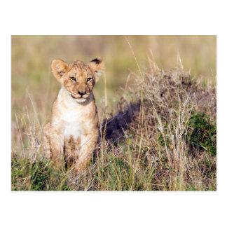 Young lion postcard