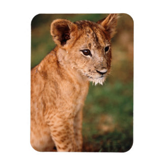 Young lion sitting magnet