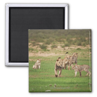 young lions playing, Panthera leo, Kgalagadi 2 Inch Square Magnet