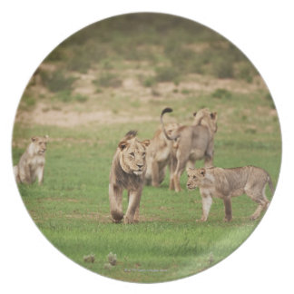 young lions playing, Panthera leo, Kgalagadi Dinner Plate