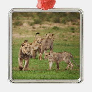 young lions playing, Panthera leo, Kgalagadi Metal Ornament