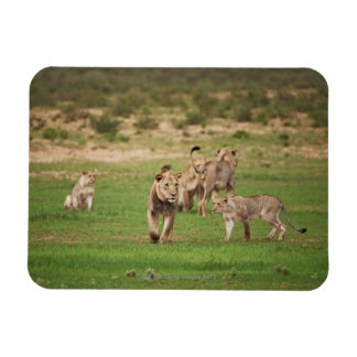 young lions playing, Panthera leo, Kgalagadi Rectangular Photo Magnet
