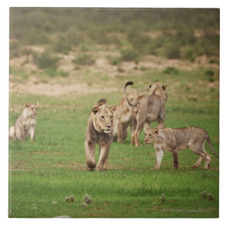 young lions playing, Panthera leo, Kgalagadi Large Square Tile