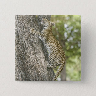 Young male leopard (Panthera Pardus) climbing Button