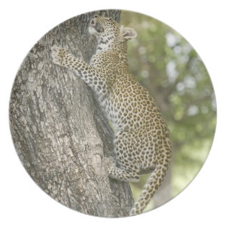 Young male leopard (Panthera Pardus) climbing Dinner Plate