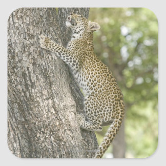 Young male leopard (Panthera Pardus) climbing Square Sticker